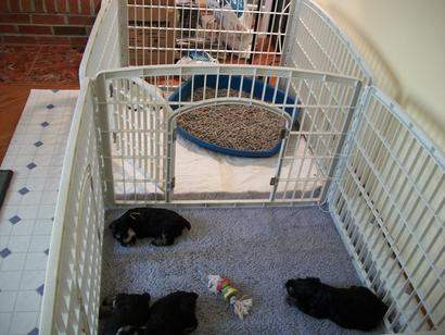 Potty Training Puppies on Sleep Play Area With Separate Potty Area The Puppies Have Graduated
